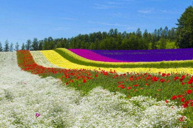 """9. """"ฟาร์มโทมิตะ"""" สวนดอกไม้ที่เต็มไปด้วยดอกลาเวนเดอร์(Farm Tomita)"""