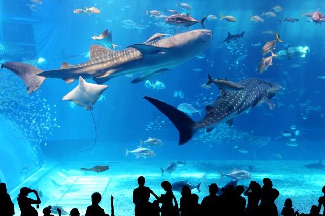 1. สถานที่ท่องเที่ยวยอดนิยม「พิพิธภัณฑ์สัตว์น้ำจุราอุมิ」Churaumi  Aquarium