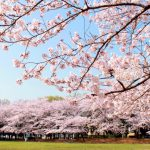 【ห้ามพลาด】10 สุดยอดทิวทัศน์ของซากุระในเกียวโต แนะนำจุดทัวร์โดยชาวญี่ปุ่น!!